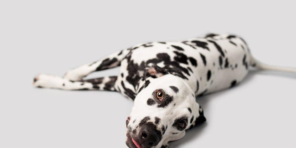 problème-estomac-chien