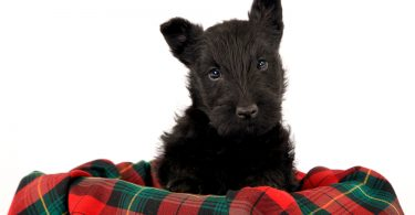 couverture pour scottish terrier