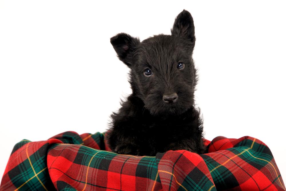 couverture pour scottish terrier